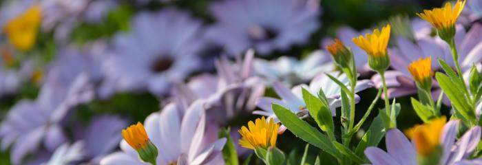 closeup of osteospermum and wild calendula spring flowers in the afternoon sunshine of sonoma county california